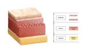 Layers of Skin Diagram